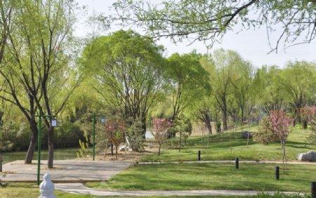 园林树木馒头柳图片