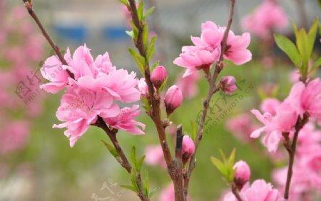 园林花灌木红花碧桃的花枝图片