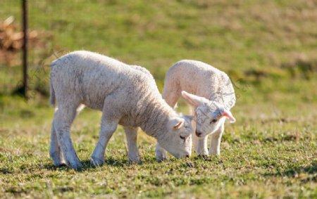 两只可爱的小绵羊图片