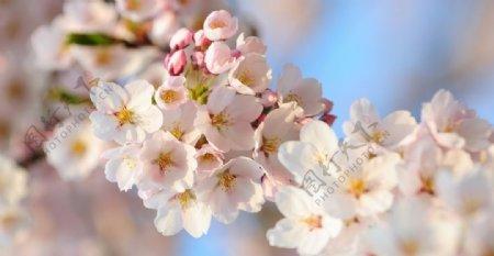 桃花近景图图片