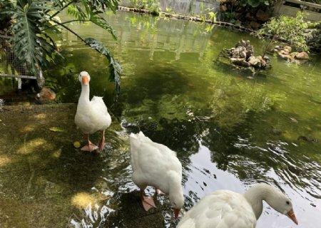 生态大白鹅图片