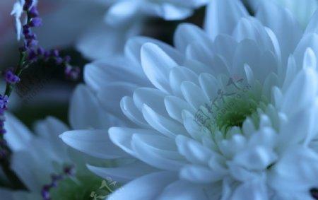 花白菊花图片