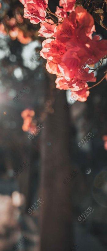 叶子花图片