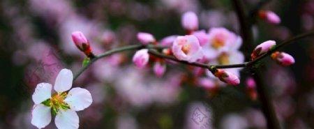 东北杏花图片